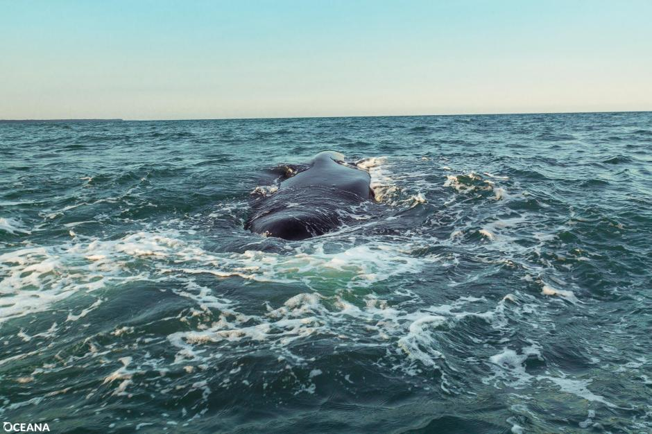 Se estima que en el mundo existen 80 mil ballenas de esta especie. (Foto: Facebook, Oceana Belize)