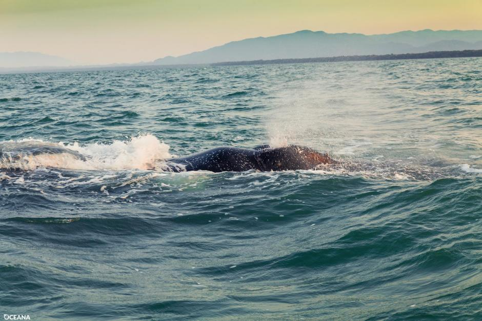 Las ballenas jorobadas son conocidas por viajar grandes distancias durante la temporada de migración. (Foto: Facebook, Oceana Belize)