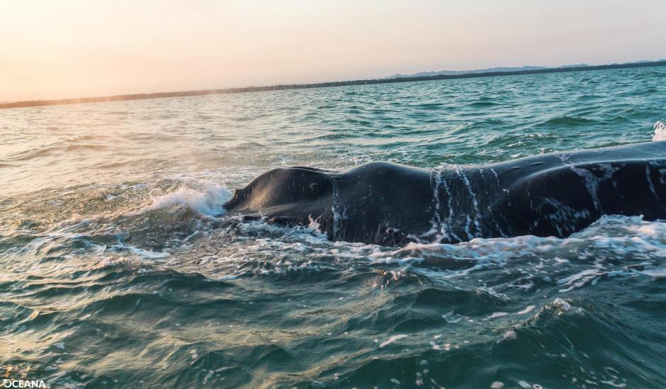 Cuerpo de la ballena jorobada en su primera fase de descomposición. (Foto: Izabal Informativo)
