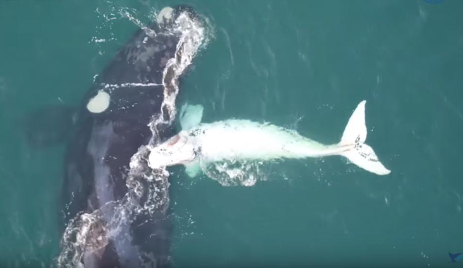 El ballenato blanco fue filmado junto a su madre. (Imagen: captura de YouTube)