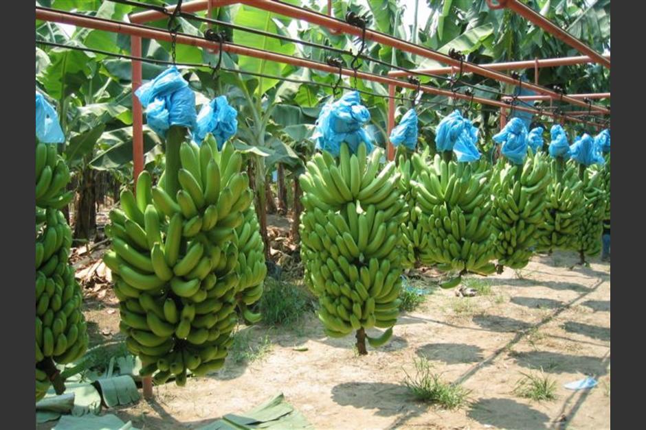 Subasta De Carros >> Exportaciones de banano crecieron 25% en Guatemala en 2013 ...