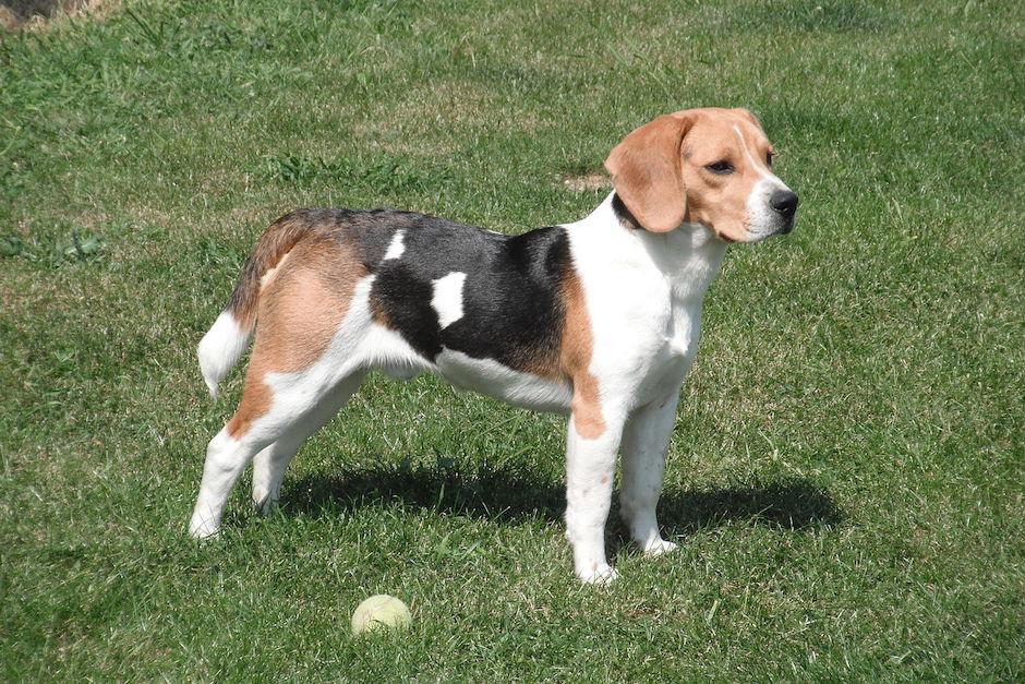 Abel Cruz, intendente de Recaudación y Gestión, tiene un un Beagle valorado en 5 mil quetzales. (Foto: wikimedia)