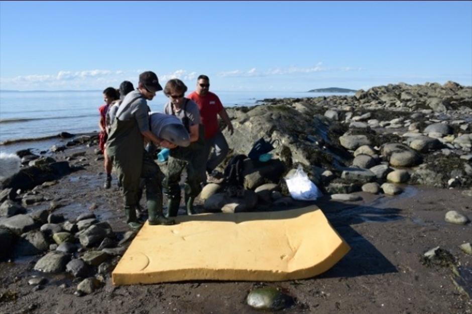La beluga se mantuvo con vida gracias a que los niños que la encontraron la hidrataron. (Foto: GREMM)
