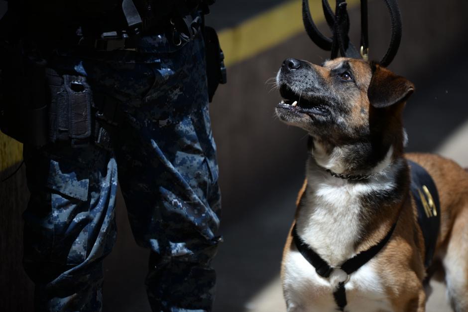 Un perro antinarcóticos ve a su guía antes de empezar un operativo en Guatemala. (Foto: Esteban BIba/Soy502)