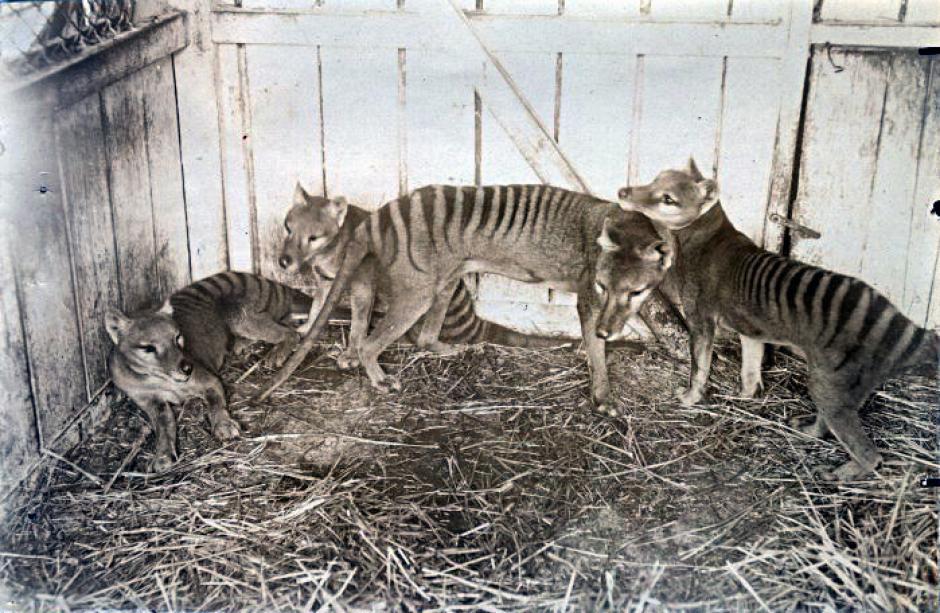 Los últimos tigres de Tasmania vivieron en cautiverio en la década de 1930. (Foto: globodisea.com)