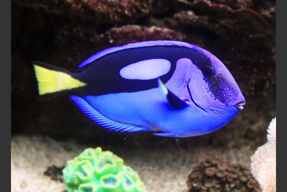 El pez cirujano regal o azul se ha convertido en uno de los más cotizados en los acuarios del mundo. (Foto: reinoanimalia.wikia.com)