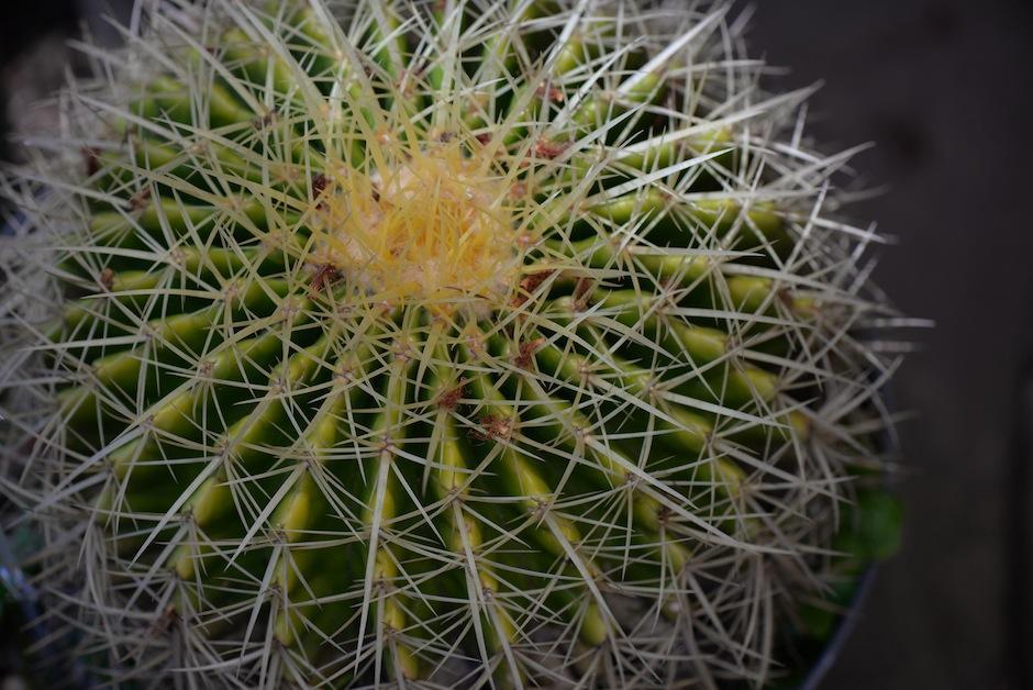 """El """"Echinocactus grusonii"""" es esférico y muy grande. También es conocido como cactus barril. (Foto: Wilder López/Soy502)"""