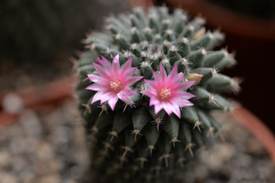 Incluye un cactus en tu jardín o escritorio. (Foto: Wilder López/Soy502)