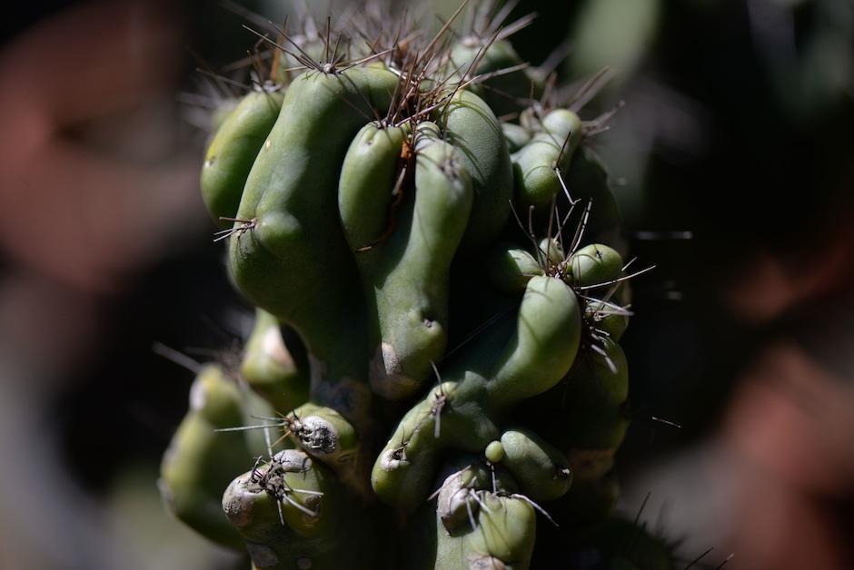 El cactus monstruoso absorbe la radiación. (Foto: Wilder López/Soy502)