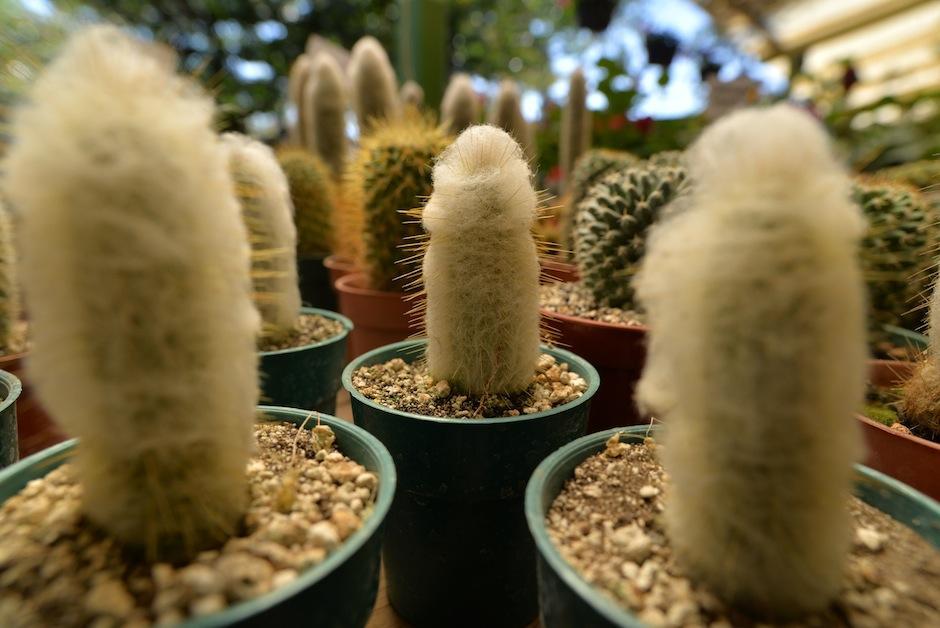 """Las espinas son muy variadas, como la de este """"Cereus"""", también conocido como cactus peludo. (Wilder López/Soy502)"""