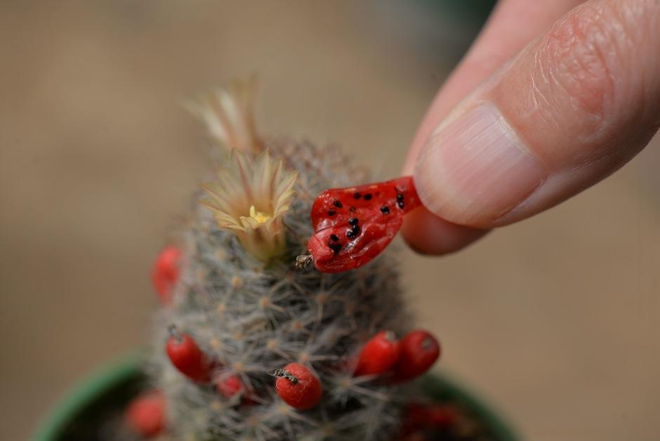 Sus frutos son muy coloridos. (Foto: Wilder López/Soy502)