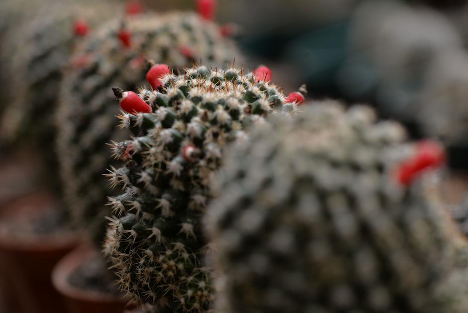 Estas necesitan poco cuidado. (Foto: Wilder López/Soy502)