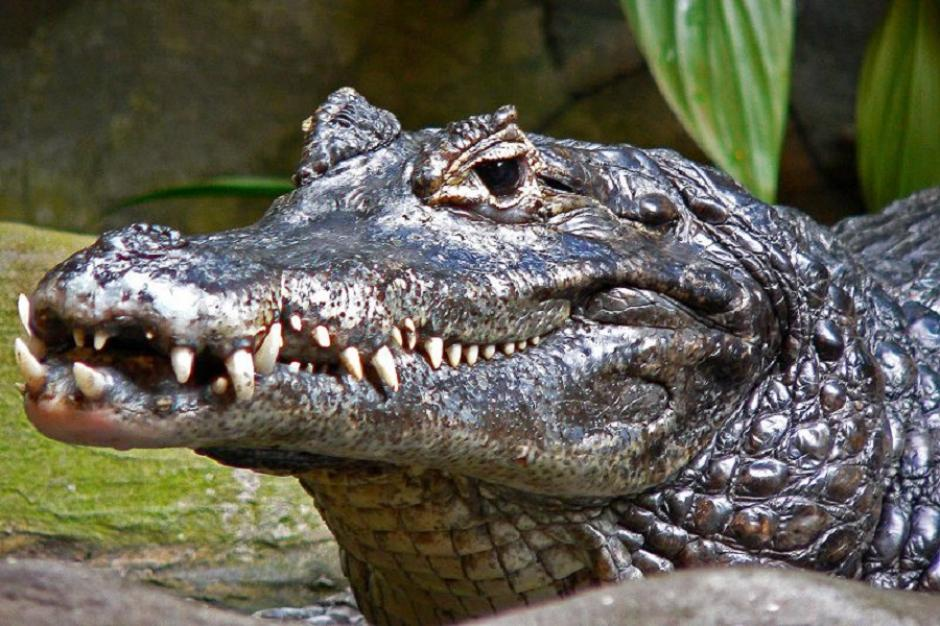 En Florida, es común la presencia de caimanes. (Foto: atodomomento.com)