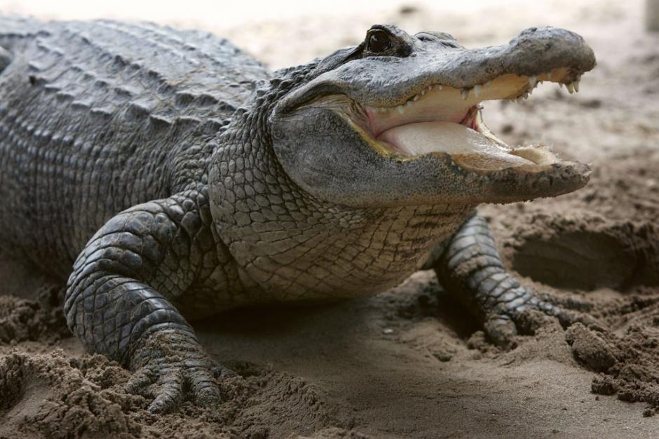Un caimán de 1.5 metros atacó a una mujer en Florida. (Foto: eldiariony.com)