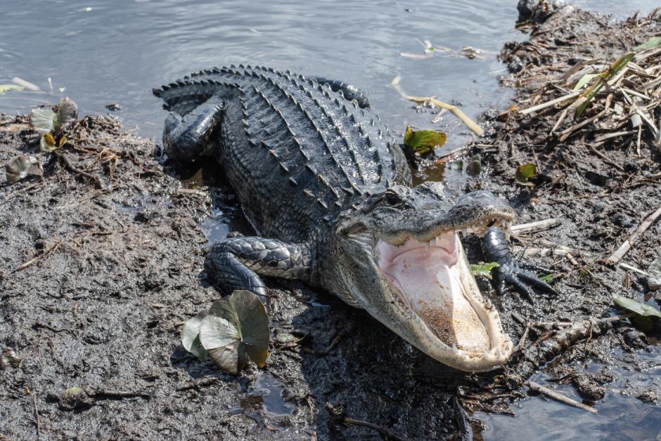 En junio, otro caimán atacó a un niño en un parque de diversiones de Disney en Florida. (Foto: univision.com)