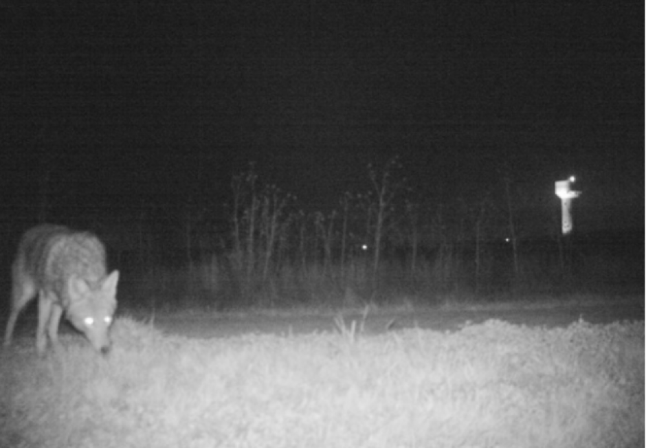 También quedó grabada la visita de un coyote. (Foto: www.sopitas.com)