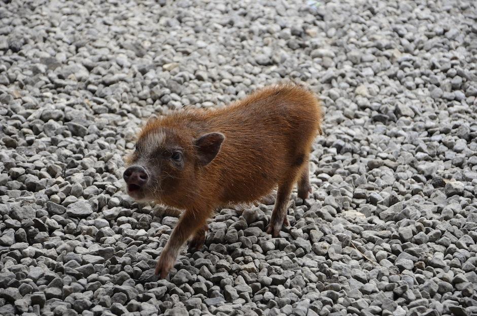 Los mini pigs crecen como un perro mediano, pesando unas 70 libras. (Foto: Selene Mejía/Soy502)