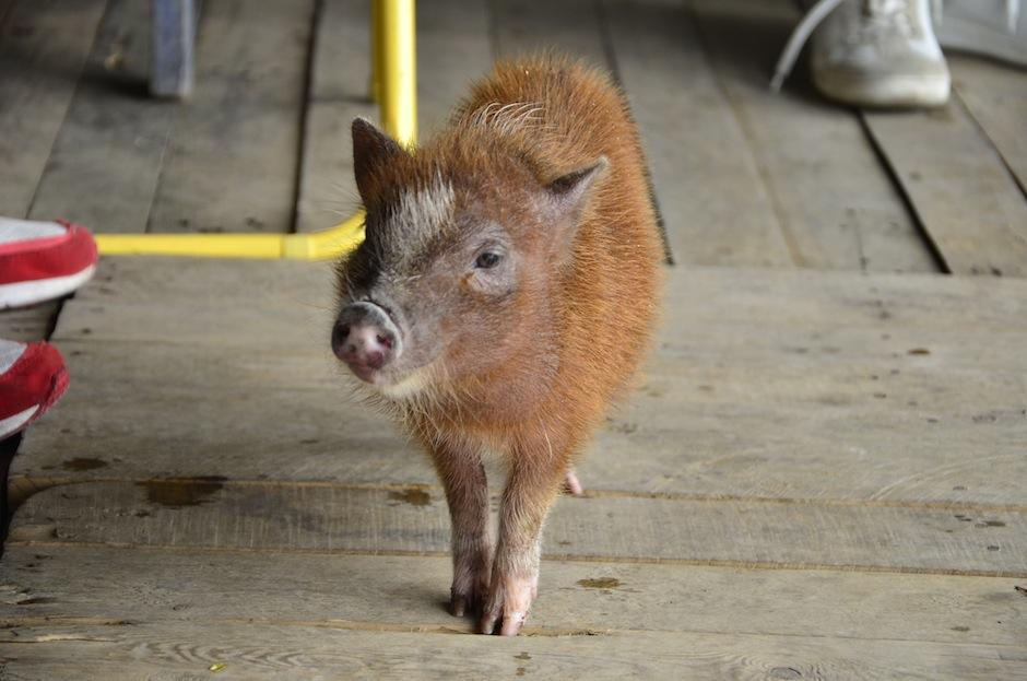 Camaroncito es parte de Mini Pig Guatemala. (Foto: Selene Mejía/Soy502)