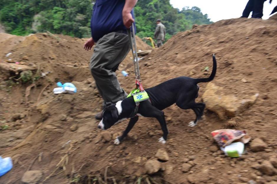 Las labores de rescate no cesan y Placo, el perro rescatista mexicano ayuda en la faena. (Foto: Jesús Alfonso /Soy502)