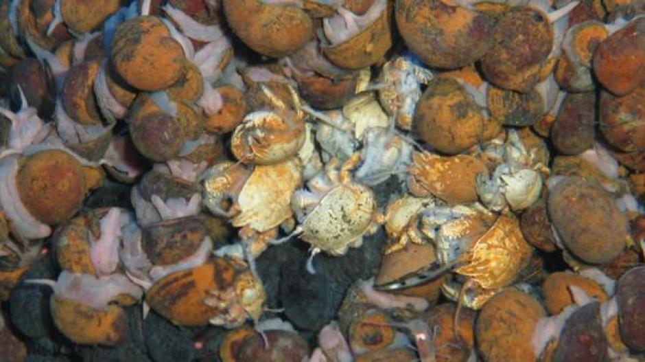 Los cangrejos peludos fueron descubiertos en esta expedición. (Foto: Infobae)
