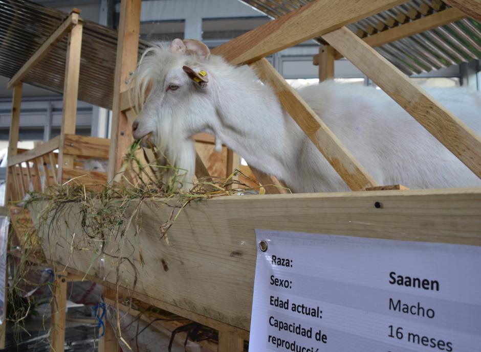 La leche de cabra aporta nutrientes saludables para los niños que padecen desnutrición.  (Foto: Alejandro Ortiz/Soy502)