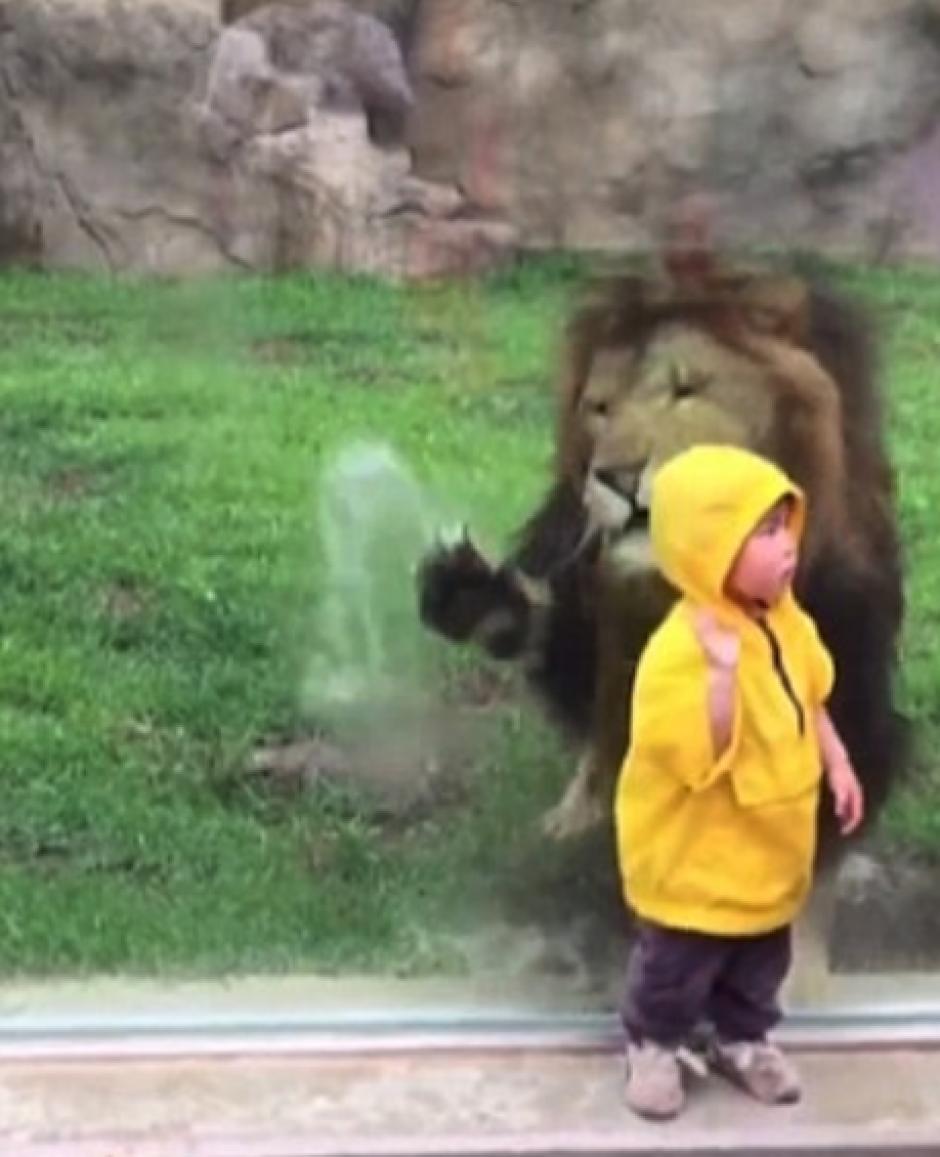 El león se lanzó sobre la presa pero no se dio cuenta del cristal. (Foto: DailyMail)