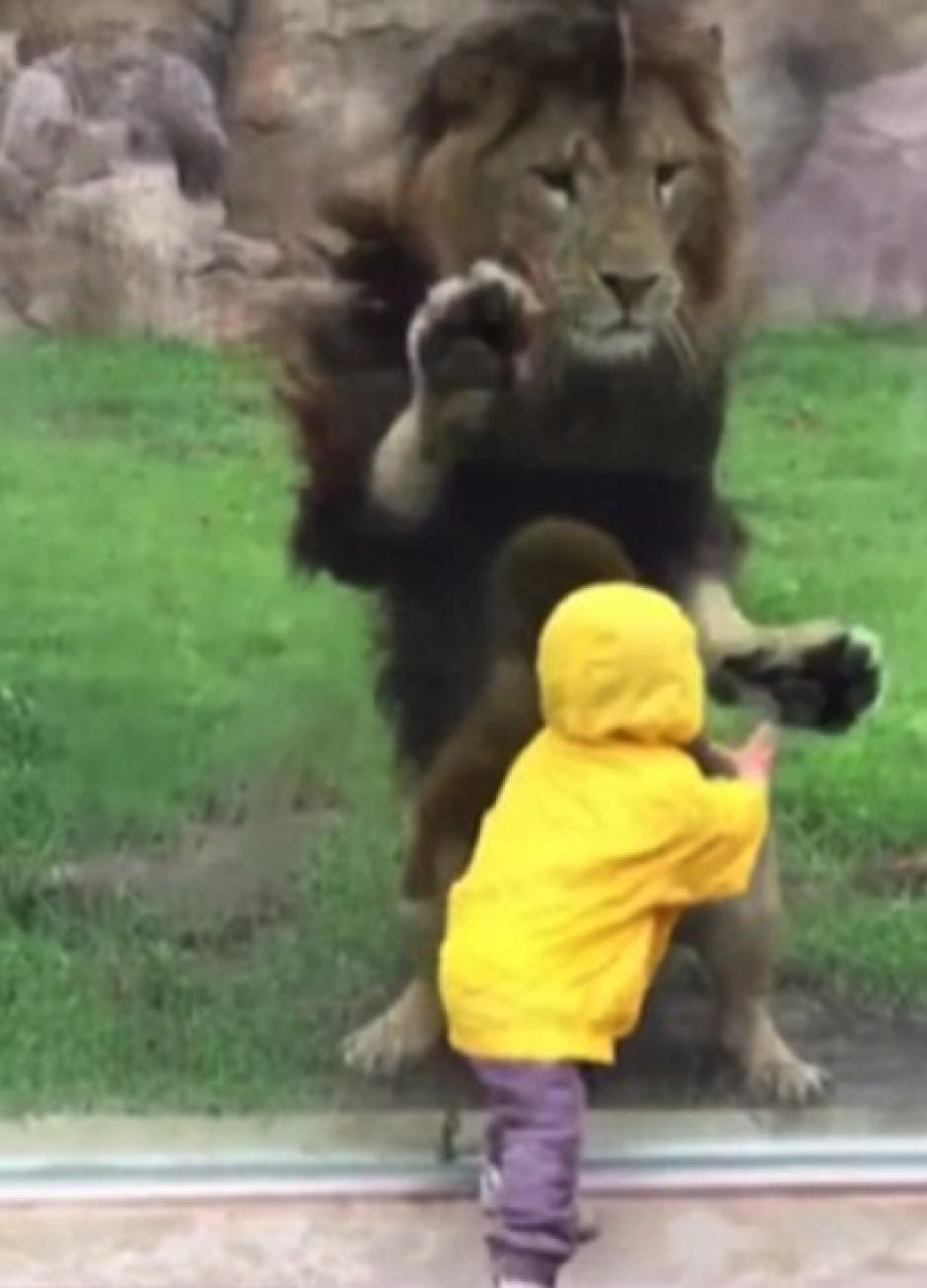 Asustado el niño se echó hacia atrás evitando a la fiera. (Foto: DailyMail)