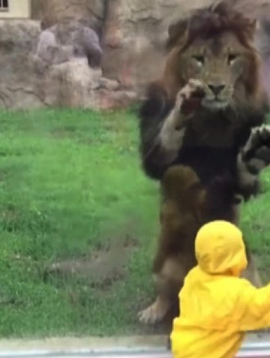 El león siguió intentando alcanzar al niño. (Foto: DailyMail)
