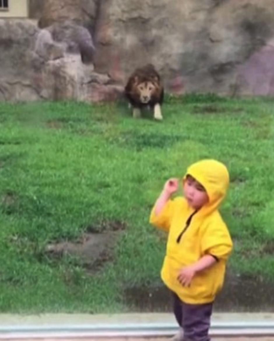 El león observó al niño y su chubasquero amarillo. (Foto: DailyMail)
