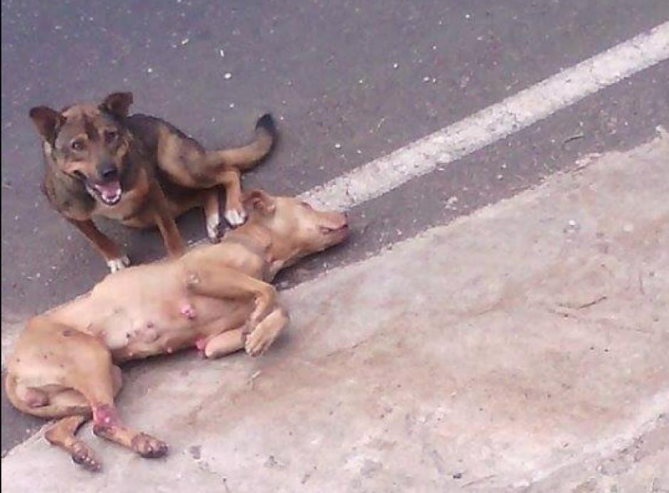 Romeo y Carmencita, nombres con los que fueron bautizados estos perros, permanecían a la orilla de una carretera. (Captura de pantalla: Huellitas de la Calle/Facebook)