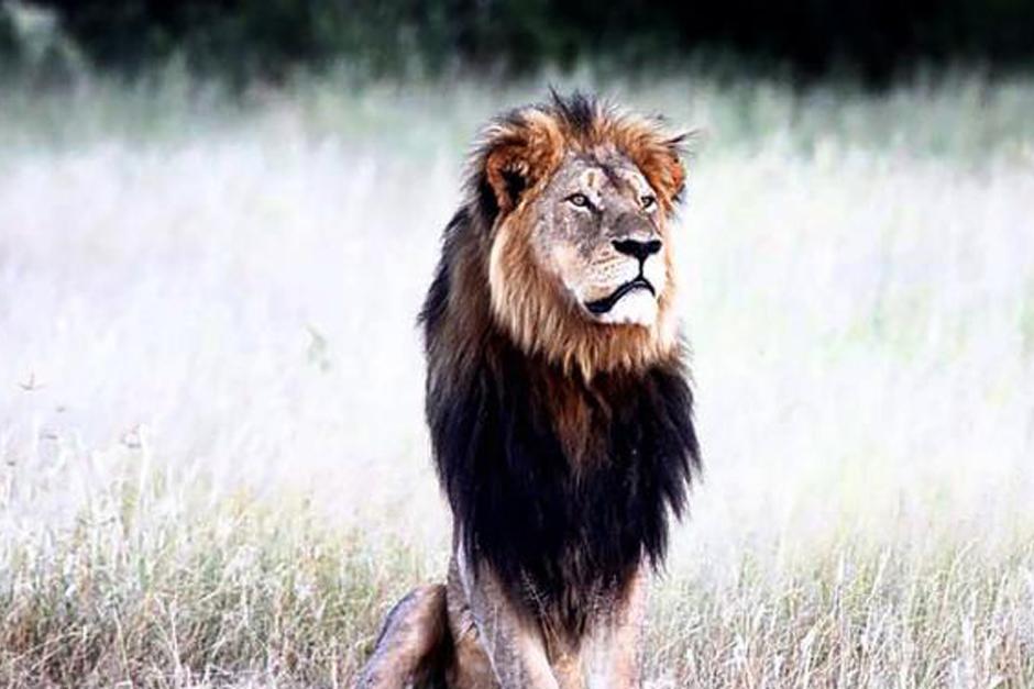Desde hace 13 años Cecil, un león de melena negra, era una celebridad entre todos los amantes de los safaris de Zimbabwe.