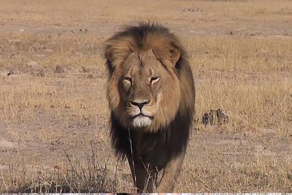 Cazadores atrajeron intencionalmente al león usando una carnada para que saliera del area restringida y poderlo cazar.