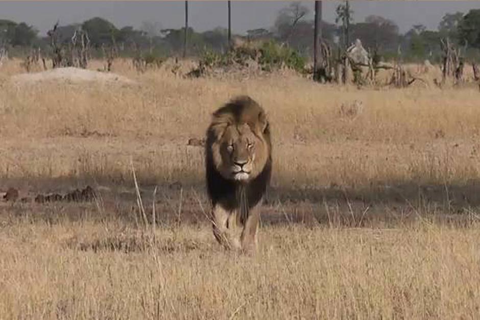 """Las autoridades de Zimbabwe están tratando de localizar al español que supuestamente pagó 55 mil dólares a los guías para tener """"la oportunidad"""" de matar a la principal atracción del Parque de Hwange."""