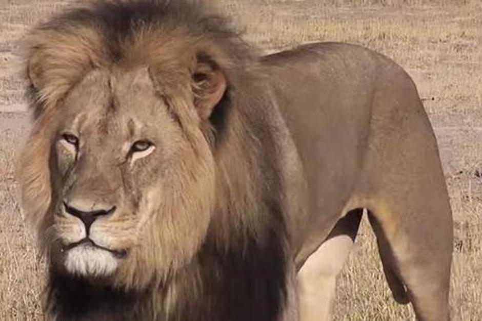 La muerte de Cecil afecta también a las tres crías que tenía con una de sus hembras.