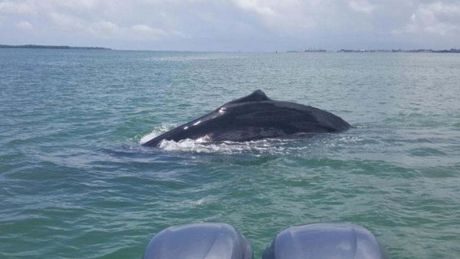La ballena jorobada  fue vista en la Bahía de Amatique. (Foto: Ejército Guatemala)