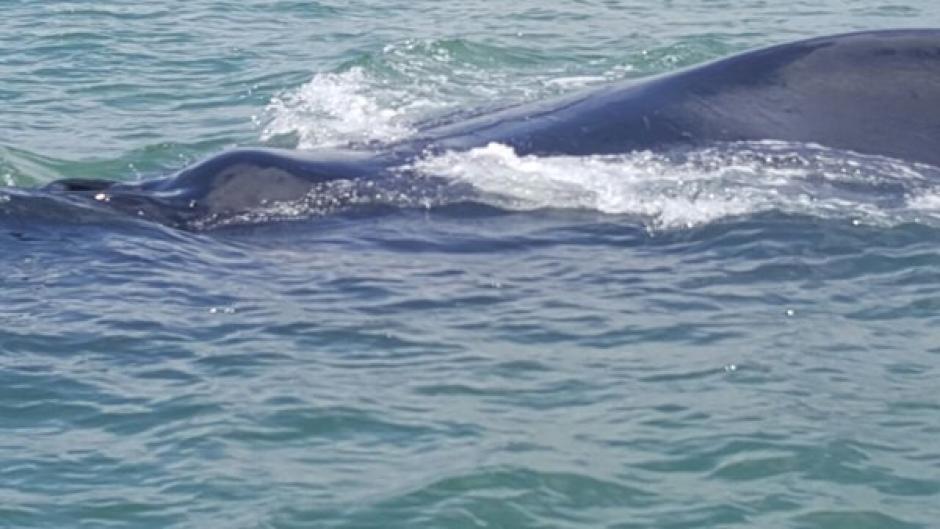 Las ballenas jorobadas son vistas cada año en el Océano Pacífico, pero no en el Atlántico. (Foto: Ejército Guatemala)