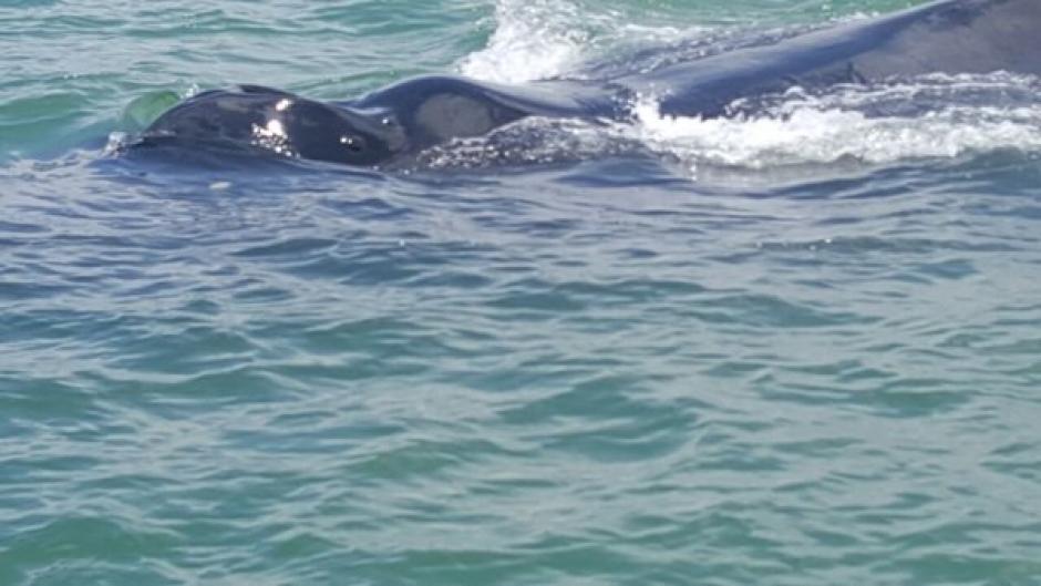 Según las autoridades, la ballena ha podido ser vista desde hace tres meses. (Foto: Ejército Guatemala)