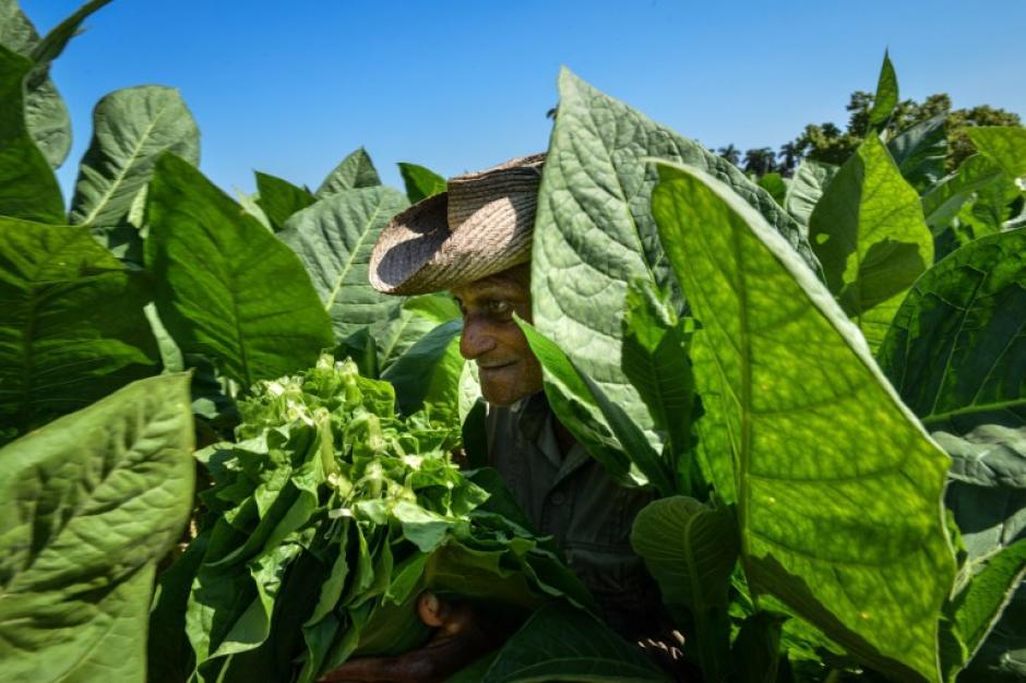 Los trabajadores cubanos cosechan las hojas de tabaco, en el municipio de San Juan y Martínez, Pinar del Rio Province, Cuba. La producción de cigarros cubanos experimentó un crecimiento del 8% en 2013 sumando 447 millones de dólares a la economía cubana. (Foto: AFP/ ADALBERTO ROQUE)