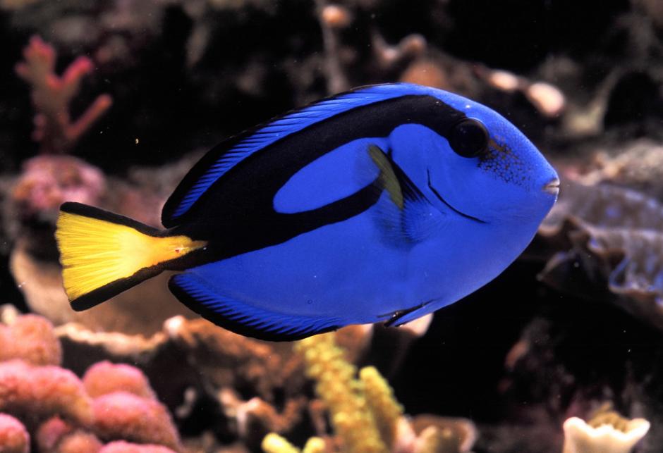"""El pez cirujano regal o azul, según su nombre científico  """"Paracanthurus hepatus"""", de color azul índigo y llega a medir hasta 31 centímetros de longitud. (Foto: es.reinoanimalia.wikia.com)"""