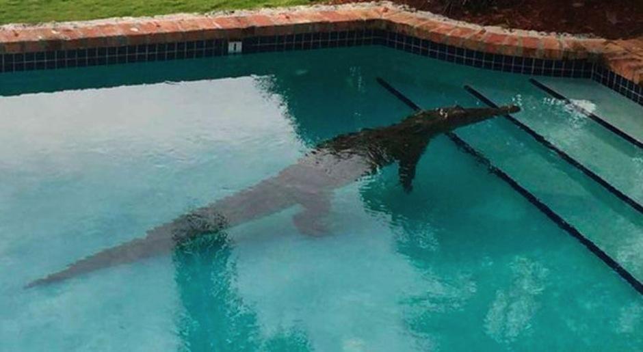 Un cocodrilo ingresó a una piscina donde se encontraba una pareja. (Foto: El Horizonte)
