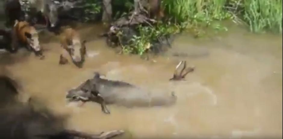 El cocodrilo captura al jabalí. (Captura de pantalla: Brak/Youtube)
