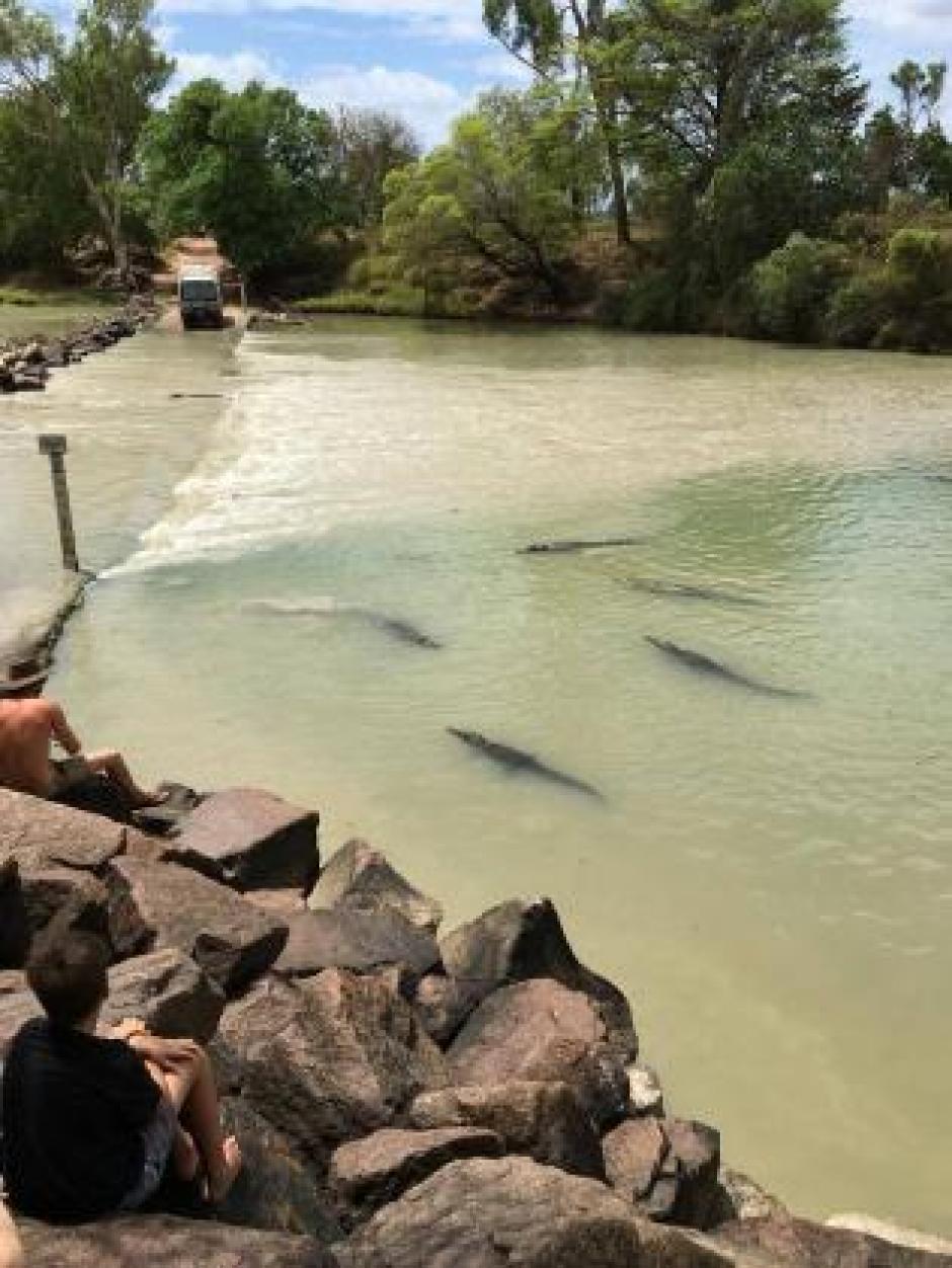 Los reptiles asediaban a los conductores al momento de cruzar el puente. (Foto: NT News)