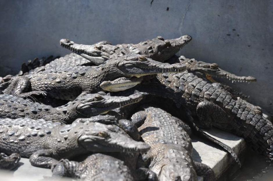 Según los empleados del lugar, los animales llevan más de un mes sin comer. (Foto: laprensa.hn)