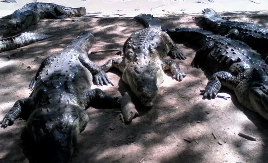 Según expertos, la falta de alimentos puede provocar canibalismo entre los reptiles. (Foto: latribuna.hn)