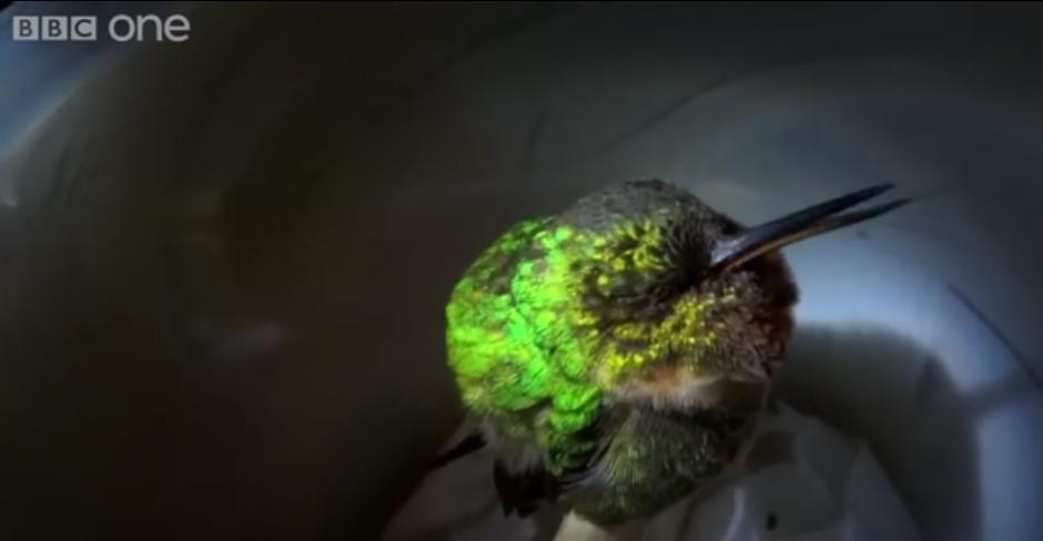 Este tierno colibrí dormido te dará mucha ternura.  (Foto: BBC)