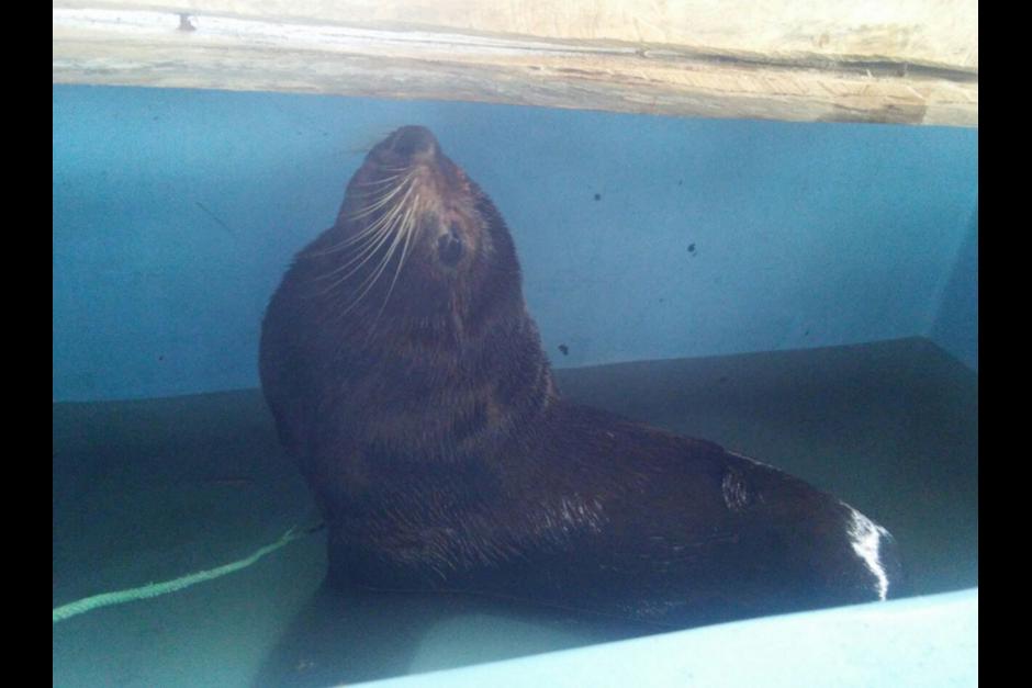 En el primer análisis realizado al lobo marino se determinó que estaba desnutrido. (Foto: Conap)