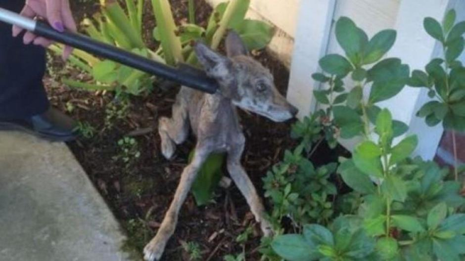 La dueña de la casa inmediatamente llamó a servicios animales. (Foto: City of Folsom Animal Services)