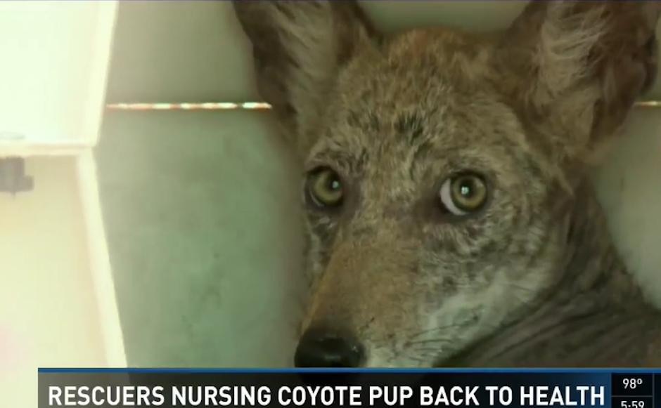 La visita resultó ser un cachorro de coyote. (Foto: City of Folsom Animal Services)