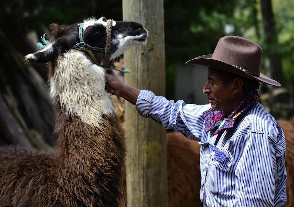 Don Marcos cuida con mucho amor a sus llamas. (Foto: Selene Mejía/Soy502)