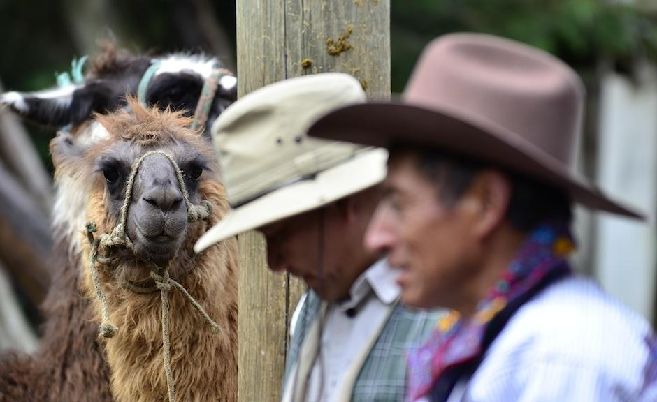 Los productos derivados de estos mamíferos como la lana, son beneficiosos para la población. (Foto: Selene Mejía/Soy502)